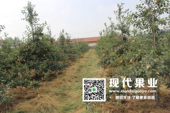 矮化密植苹果树生长发育特点